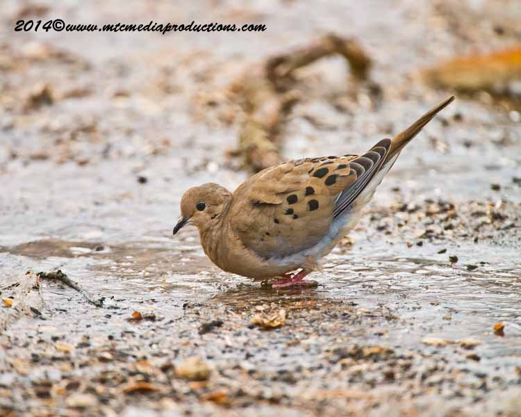 Mourning Dove Picture-76