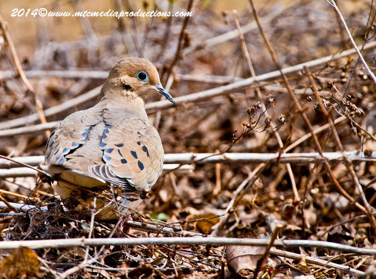 Mourning Dove Picture-77
