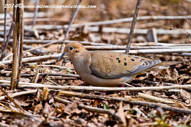 Mourning Dove Picture-78