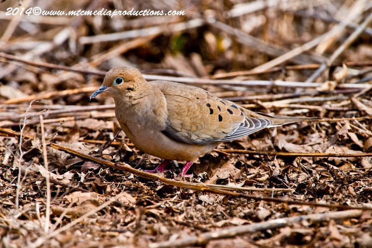 Mourning Dove Picture-79