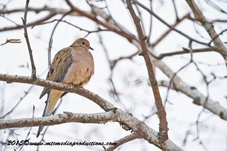 Mourning Dove Picture-80