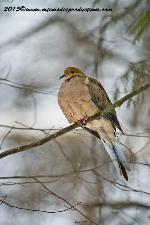 Mourning Dove Picture-81