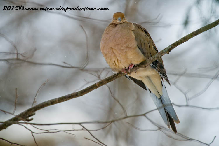Mourning Dove Picture-82
