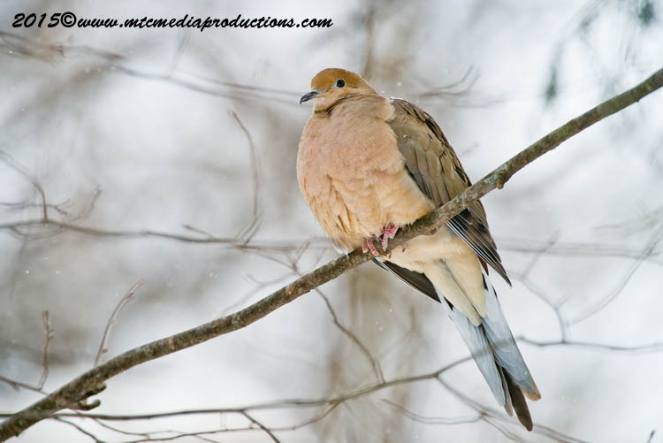 Mourning Dove Picture-83