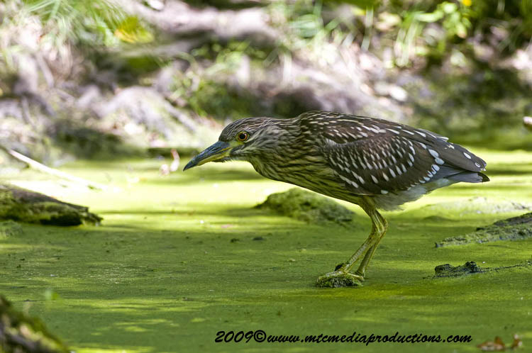 Night Heron Picture-102