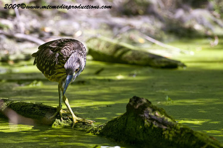 Night Heron Picture-104