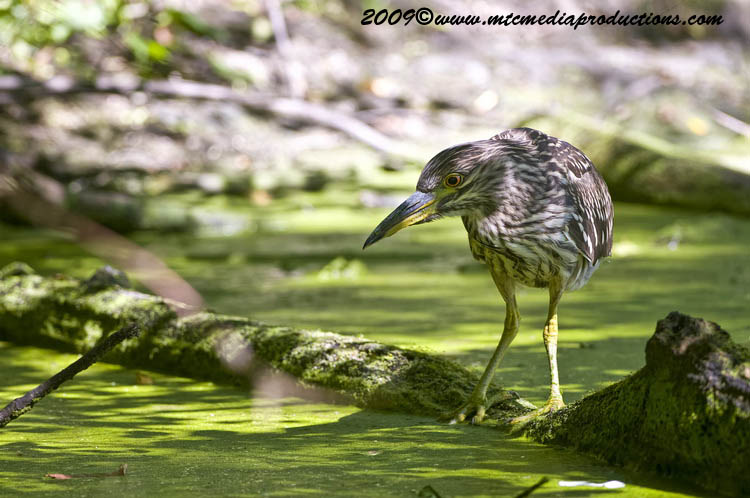 Night Heron Picture-105