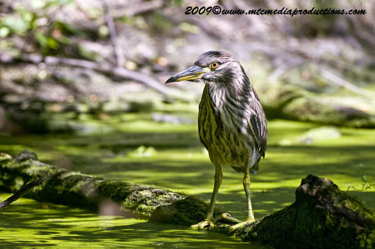 Night Heron Picture-106