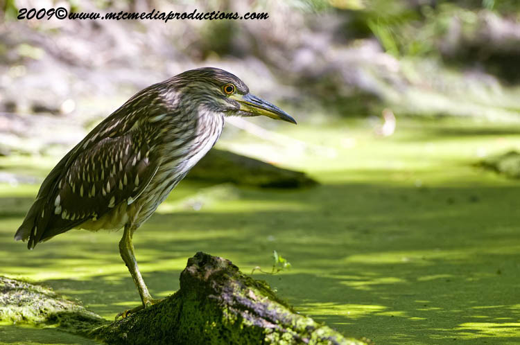 Night Heron Picture-107