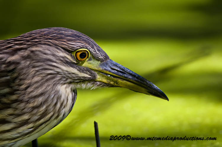Night Heron Picture-108