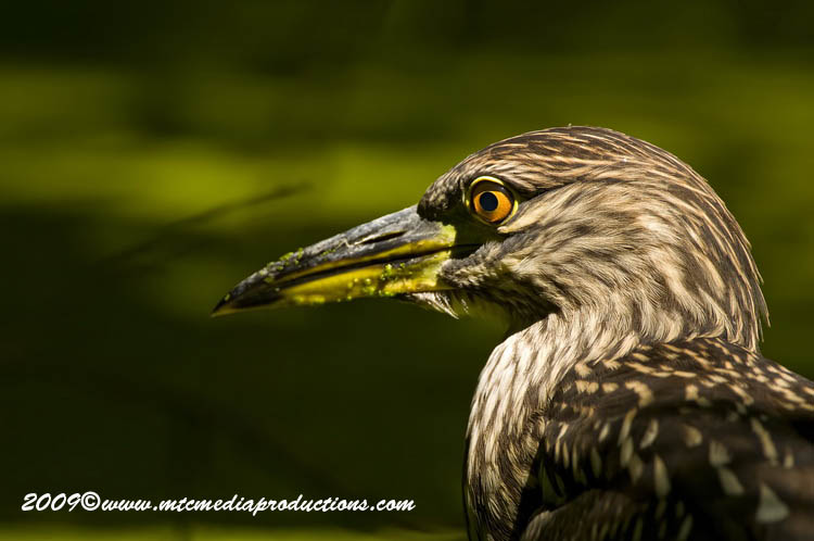 Night Heron Picture-109