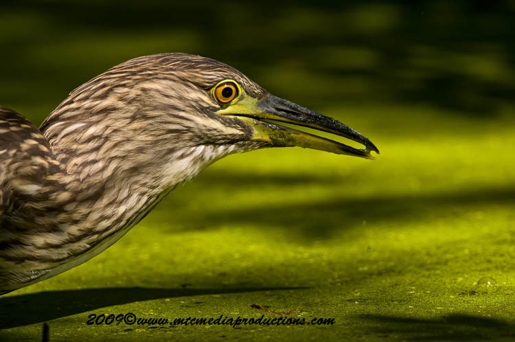 Night Heron Picture-110