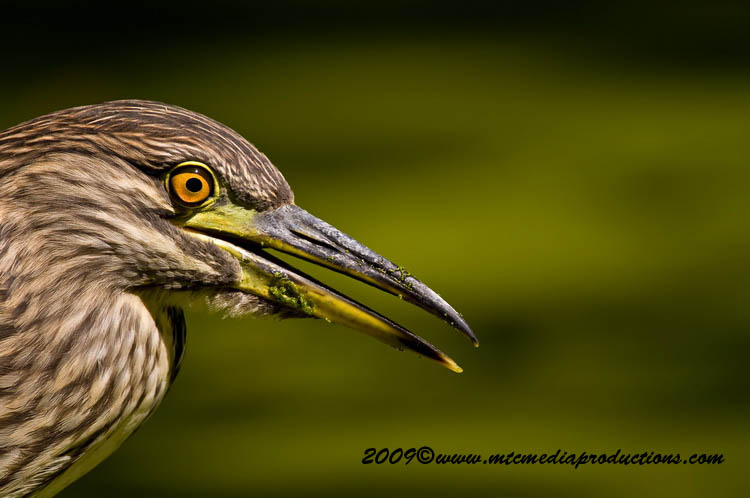 Night Heron Picture-111