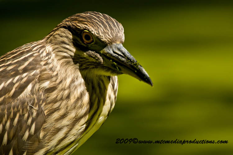 Night Heron Picture-112