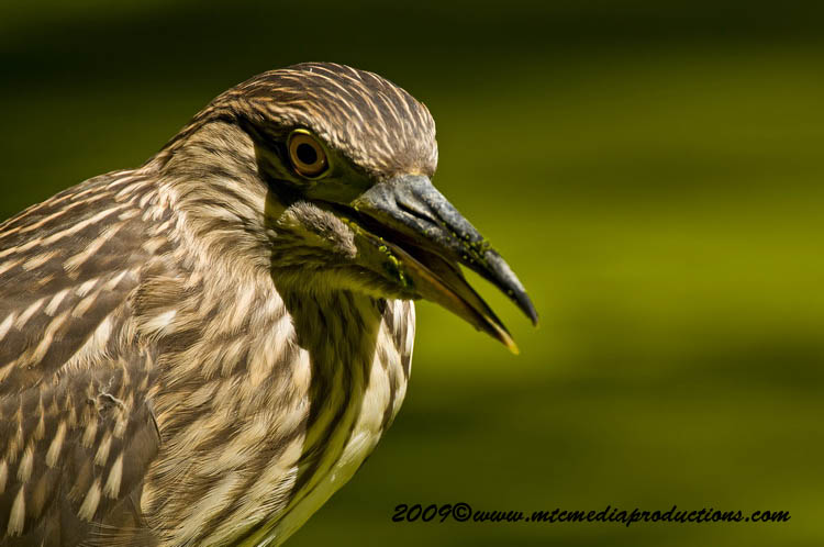 Night Heron Picture-113