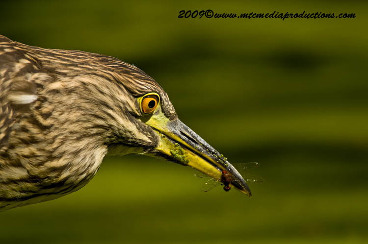 Night Heron Picture-114
