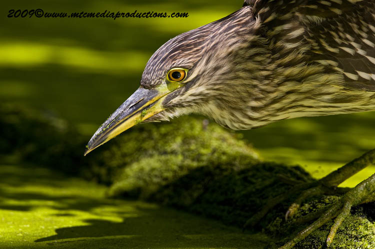Night Heron Picture-115