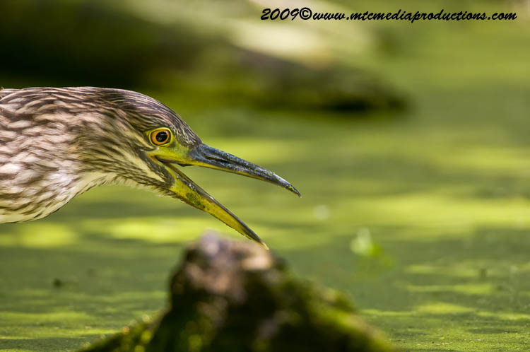 Night Heron Picture-118