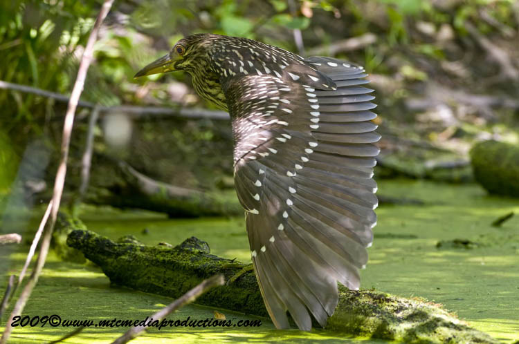 Night Heron Picture-119