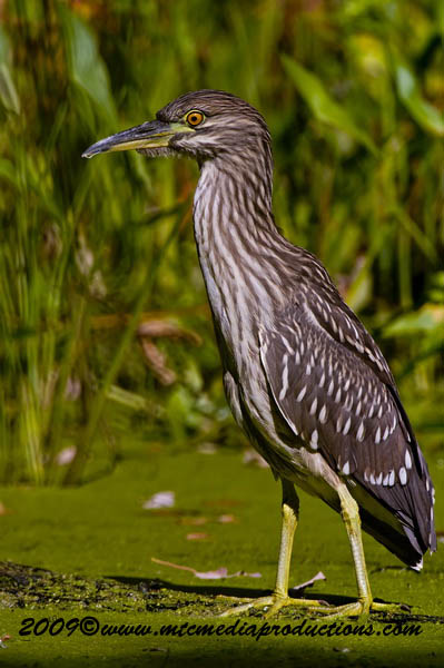 Night Heron Picture-121