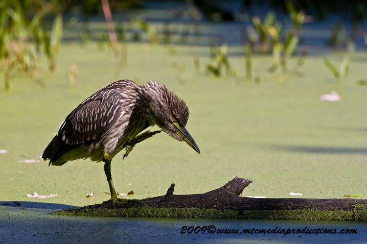 Night Heron Picture-122