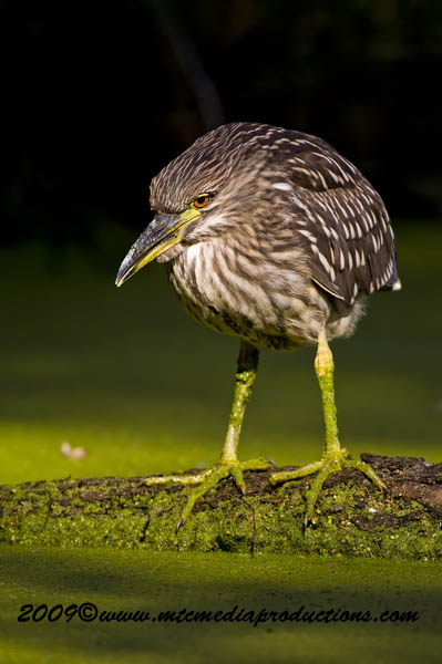 Night Heron Picture-125