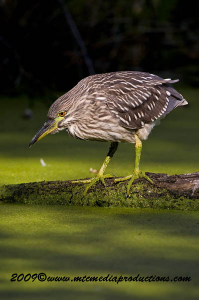 Night Heron Picture-126
