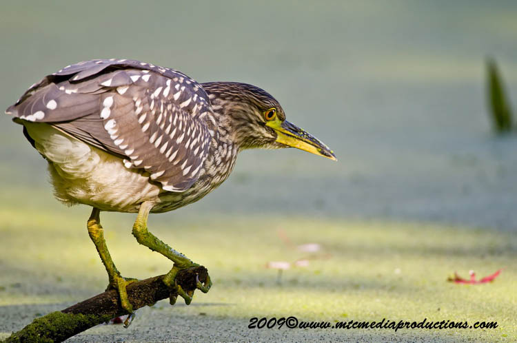 Night Heron Picture-135