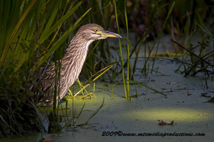 Night Heron Picture-136