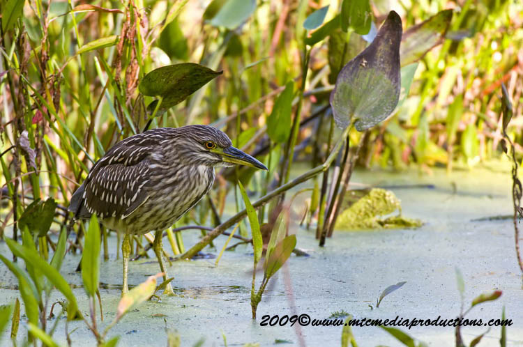 Night Heron Picture-137
