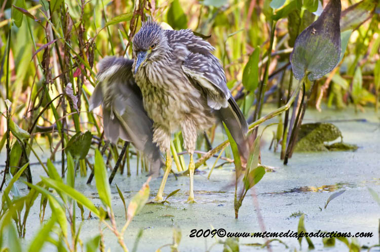 Night Heron Picture-138
