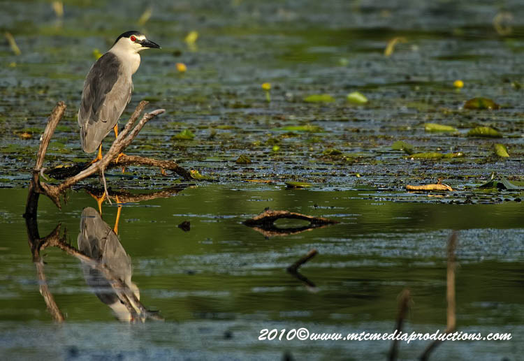 Night Heron Picture-143