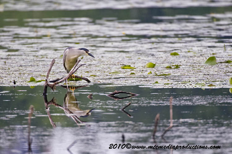 Night Heron Picture-144