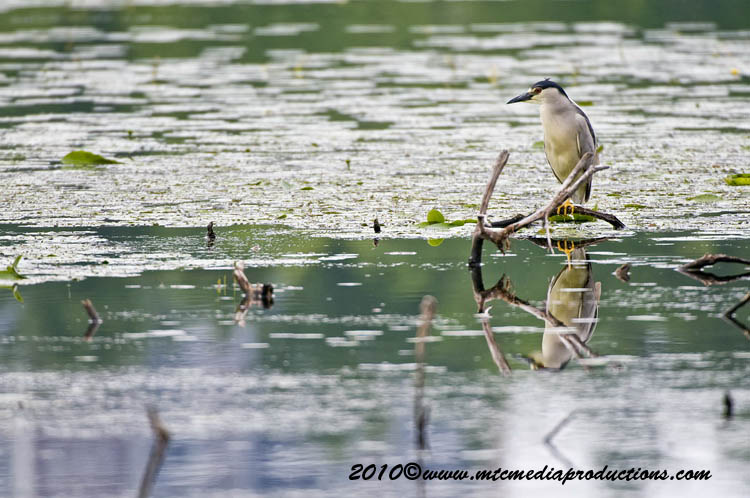 Night Heron Picture-145