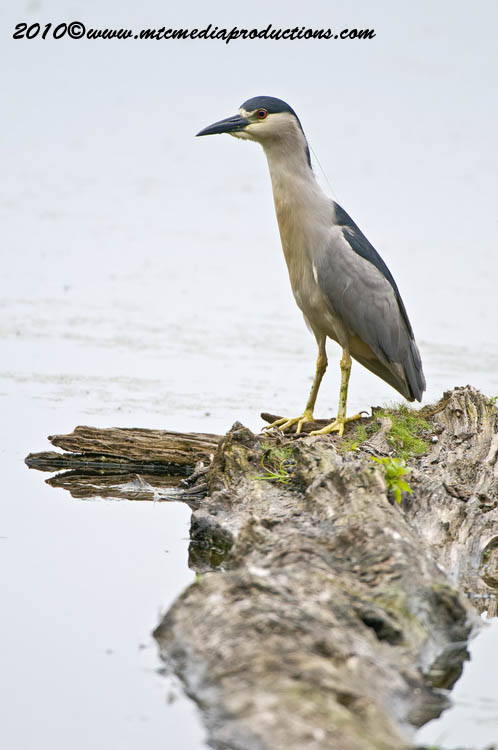 Night Heron Picture-146