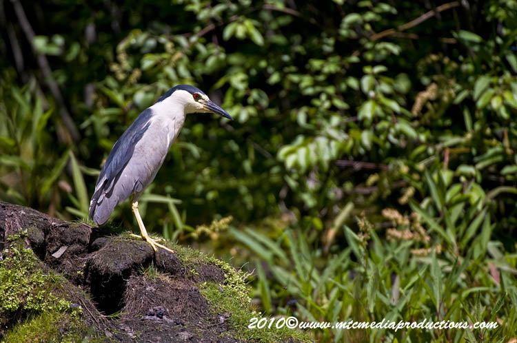 Night Heron Picture-148