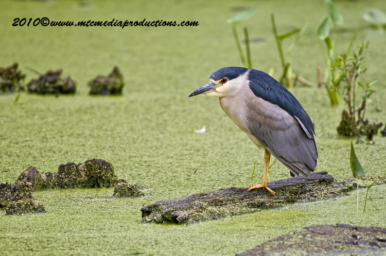 Night Heron Picture-149