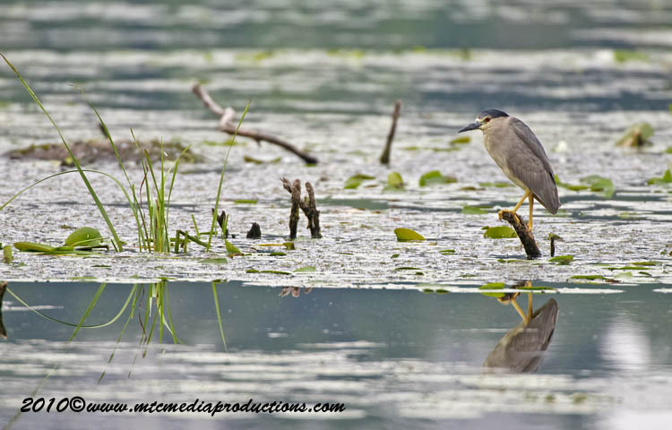 Night Heron Picture-150
