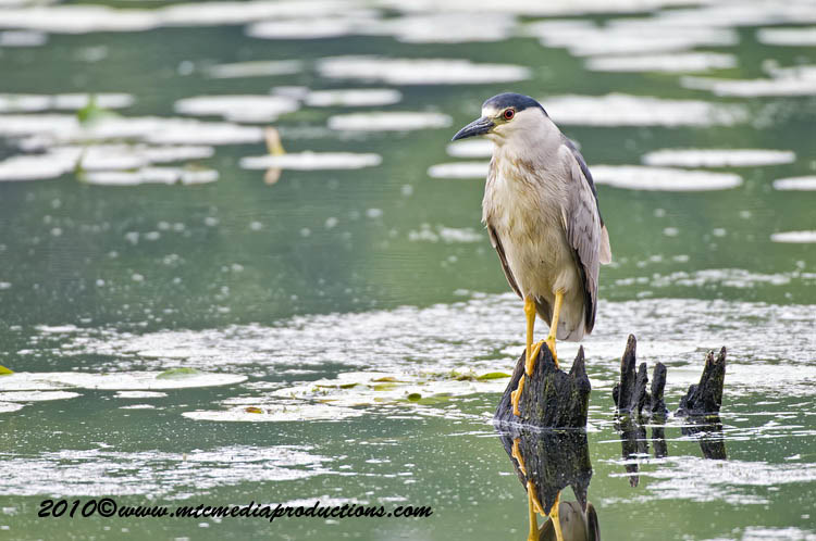 Night Heron Picture-151