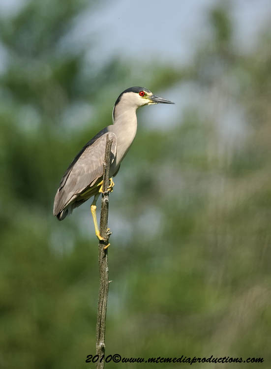 Night Heron Picture-155