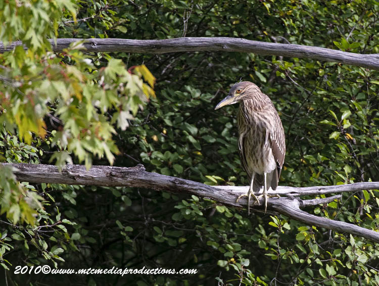 Night Heron Picture-156