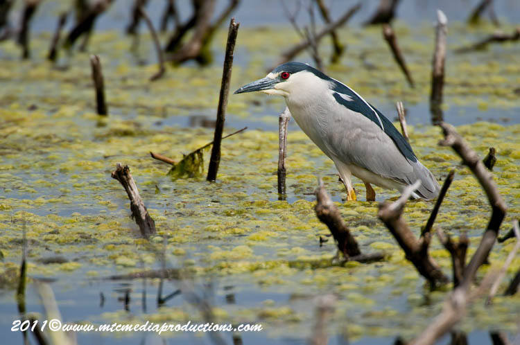 Night Heron Picture-157