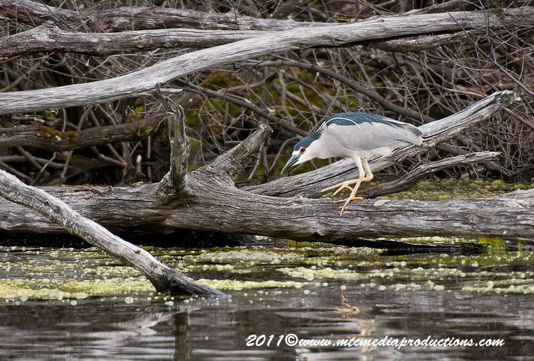 Night Heron Picture-158