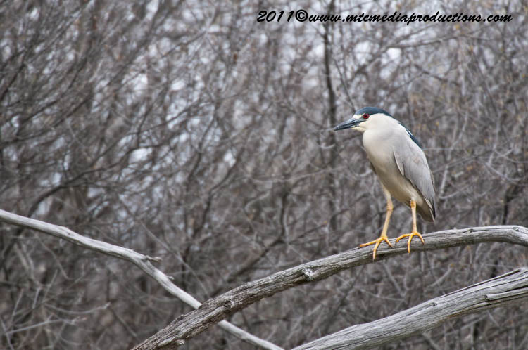Night Heron Picture-159
