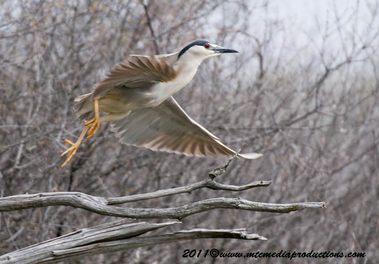 Night Heron Picture-162