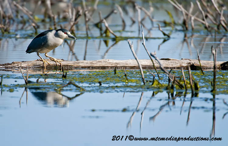 Night Heron Picture-164