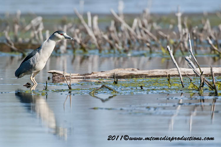 Night Heron Picture-168