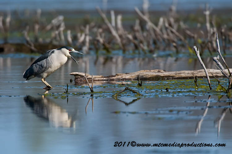 Night Heron Picture-169