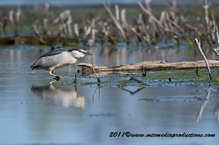 Night Heron Picture-170