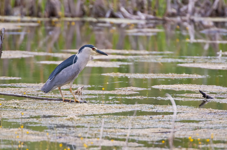 Night Heron Picture-173